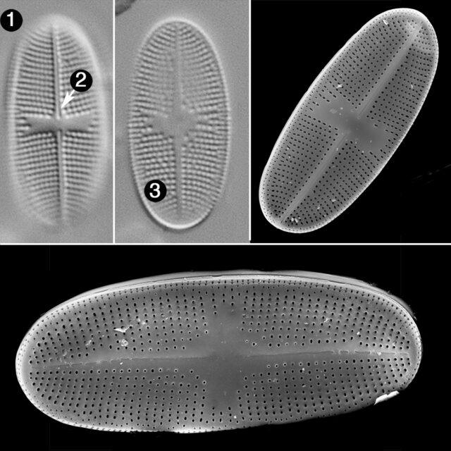 Psammothidium Alpinum Guide