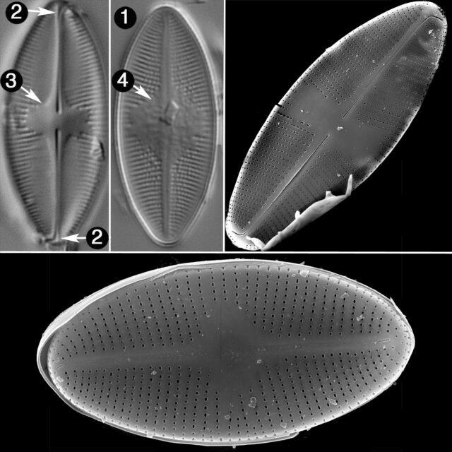Psammothidium Lacustre Guide