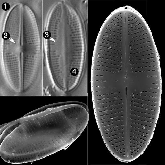 Psammothidium Nivale Guide