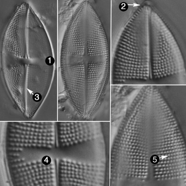Psammothidium obliquum guide