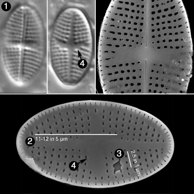 Psammothidium Semiapertum Guide