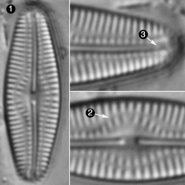 Pseudofallacia Monoculata Guide