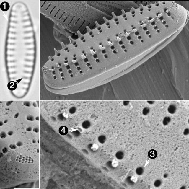 Pseudostaurosira Neoelliptica Guide