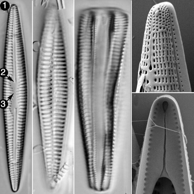 Rhoicoshenia Stoermeria Guide