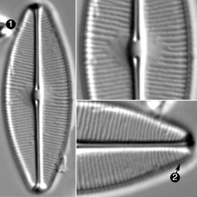 Sellaphora Bacilloides Guide