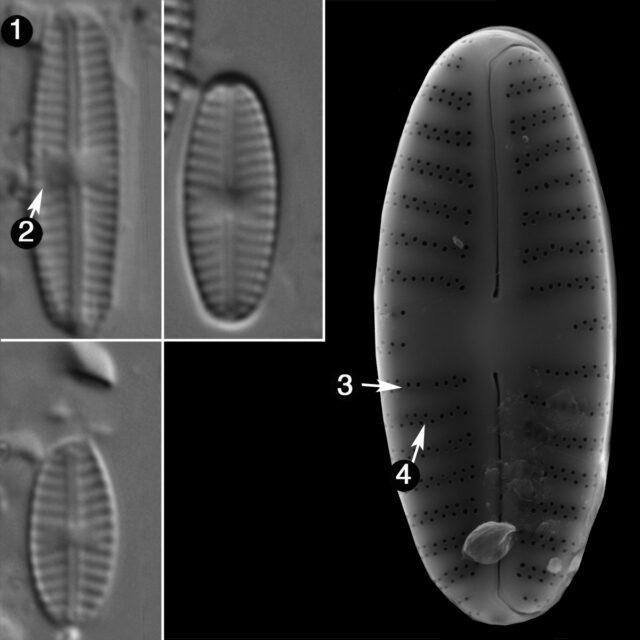 Sellaphora Saugerresii Guide