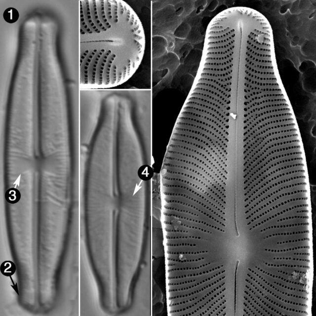 Sellaphora Stauroneioides Guide