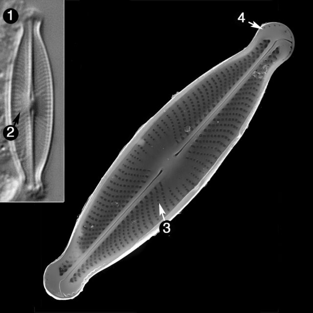Sellaphora Subfasciculata Guide
