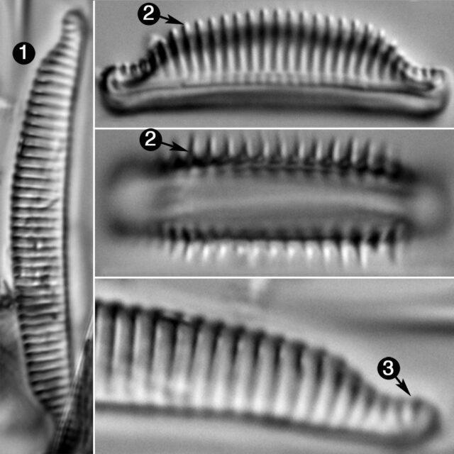 Semiorbis Catillifera Guide