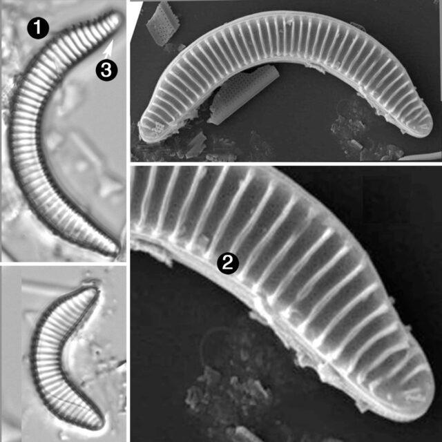 Semiorbis eliaseae guide