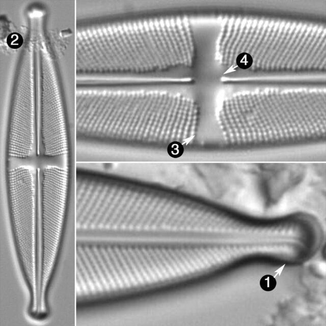 Stauroneis Ancepsfallax Guide