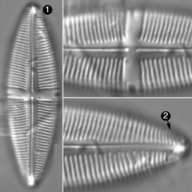 Staurophora Amphioxys Guide