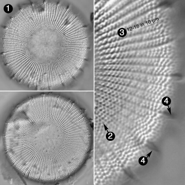 Stephanodiscus Yellowstonensis Guide