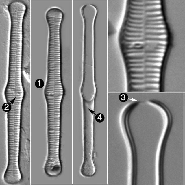 Tabellaria Fenestrata Guide