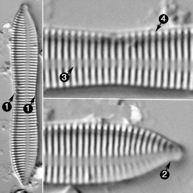 Tryblionella Apiculata Guide