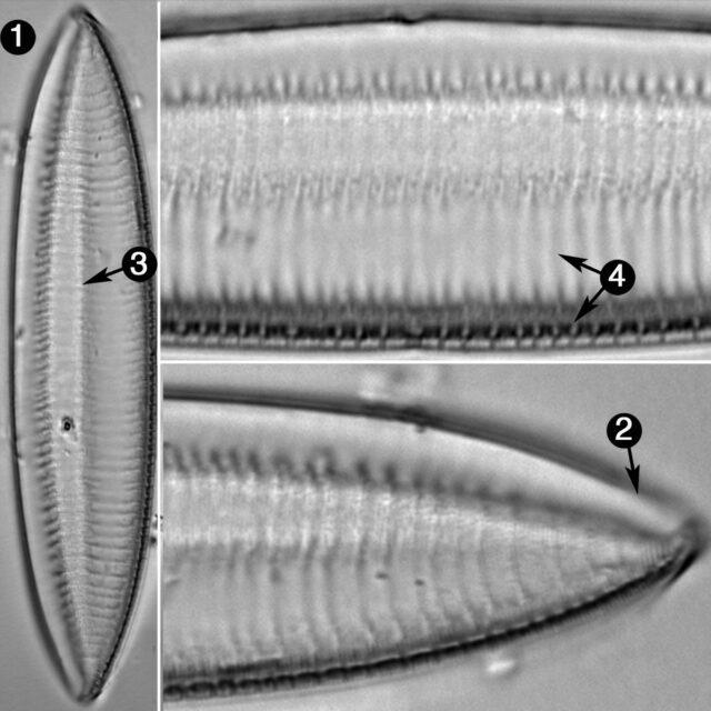 Tryblionella Gracilis Guide