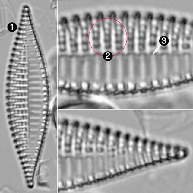 Tryblionella Lanceola Guide