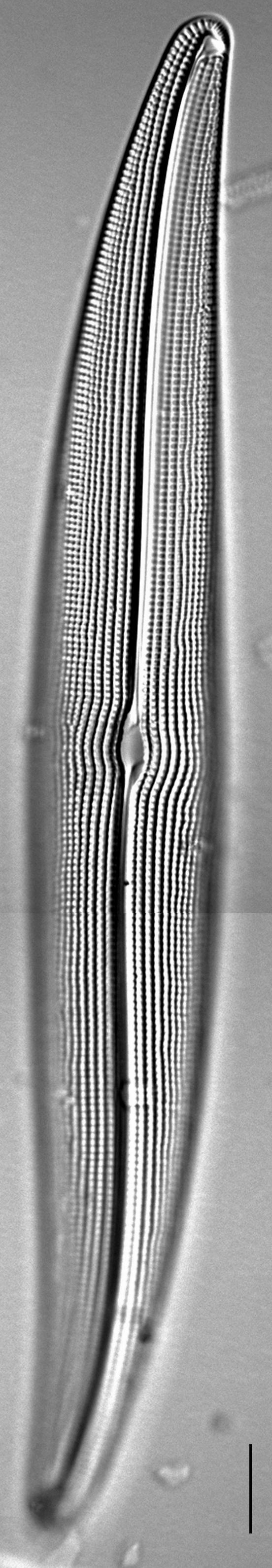 Gyrosigma attenuatum LM2