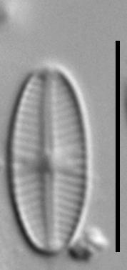 Sellaphora nigri LM2