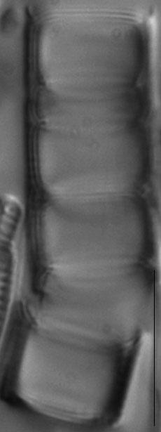 Aulacoseira alpigena LM1