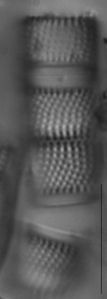 Aulacoseira alpigena LM2