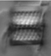 Aulacoseira alpigena LM4