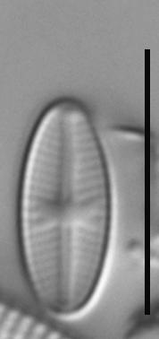 Sellaphora nigri LM6