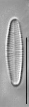 Achnanthidium minutissimum LM2