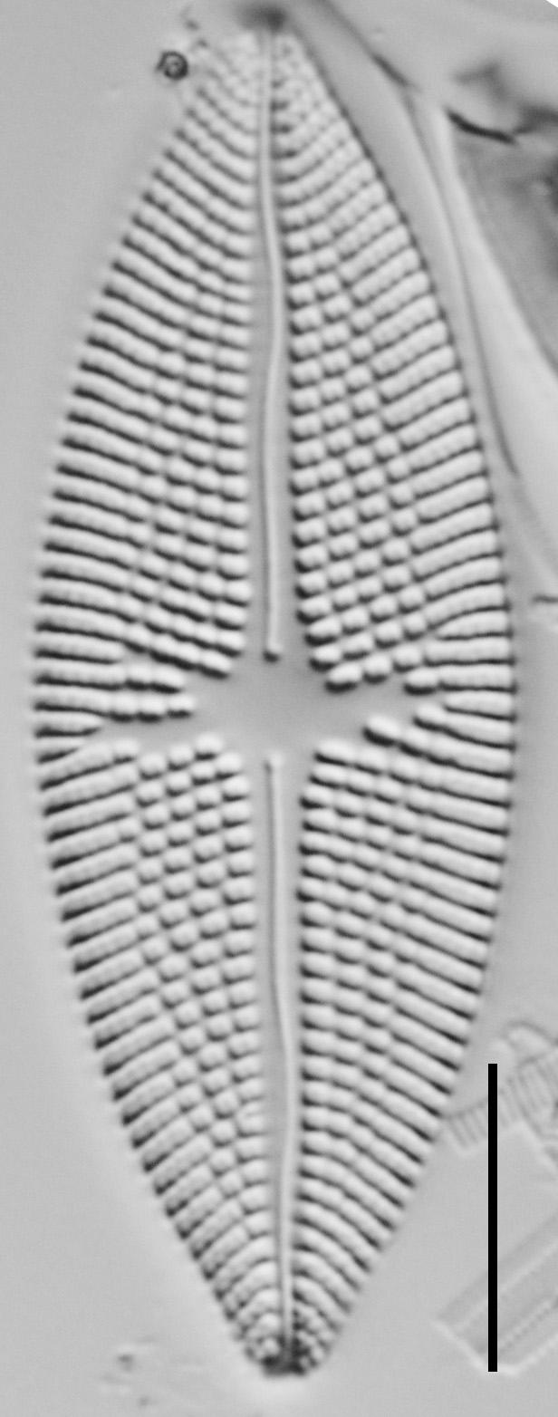 Aneumastus carolinianus LM5