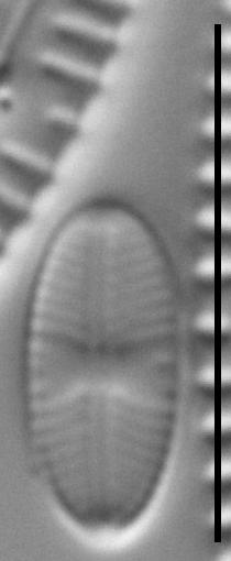 Sellaphora atomoides LM1