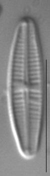 Achnanthidium pyrenaicum LM3