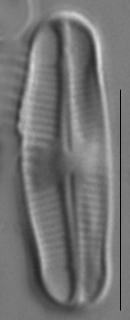 Achnanthidium reimeri LM3