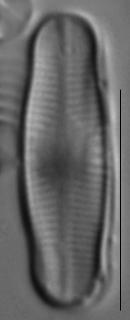 Achnanthidium reimeri LM4