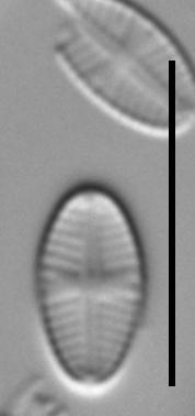 Sellaphora nigri LM4