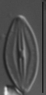 Microcostatus krasskei LM3