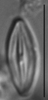 Microcostatus krasskei LM6