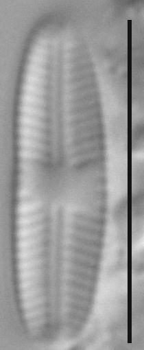 Sellaphora atomoides LM6