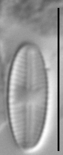 Sellaphora atomoides LM7