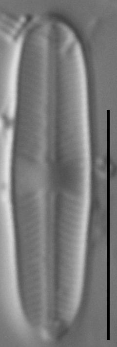 Sellaphora atomoides LM4