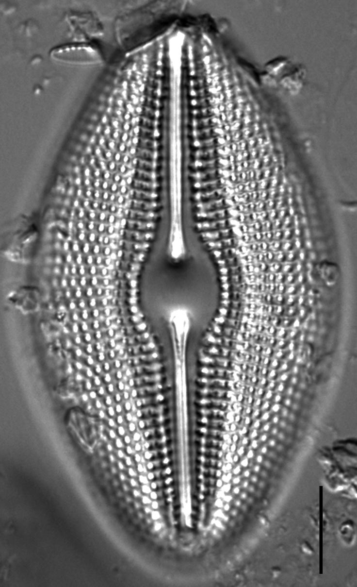 Diploneis elliptica LM1