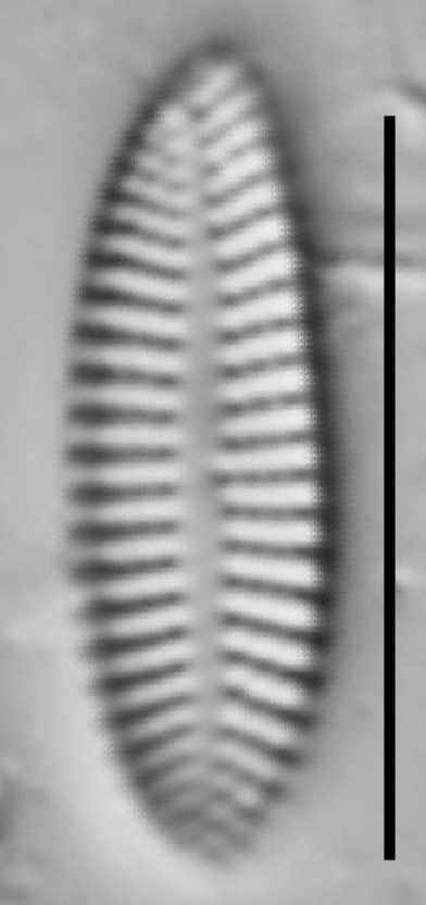 Achnanthes subhudsonis var kraeuselii LM6