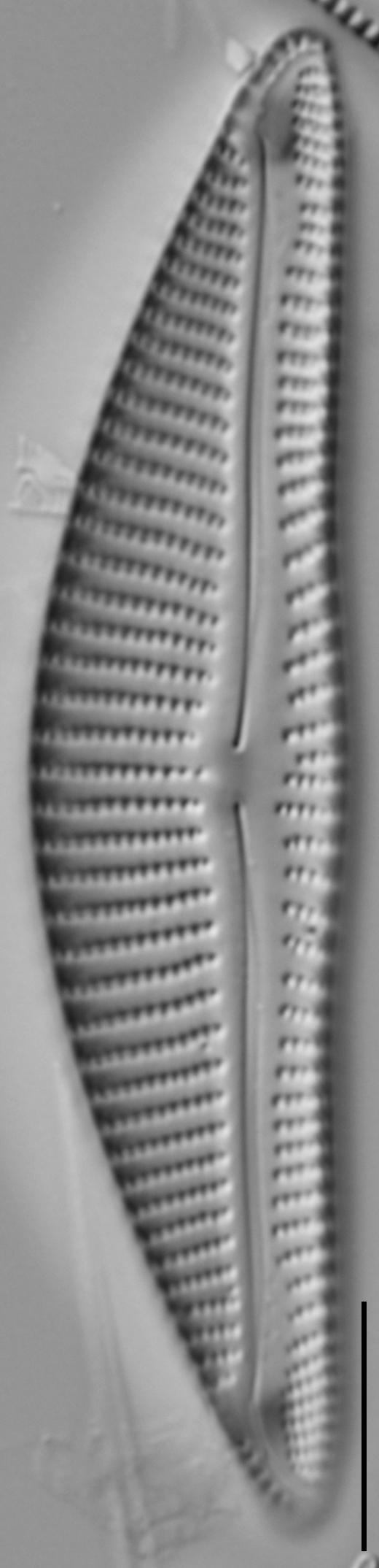 Encyonema minutum var pseudogracilis LM6