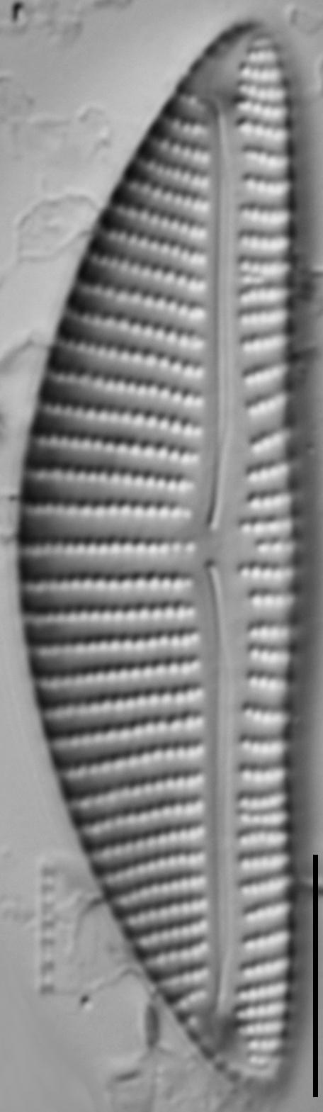 Encyonema minutum var pseudogracilis LM5