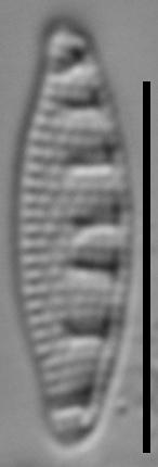 Grunowia solgensis LM1