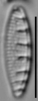 Grunowia solgensis LM3