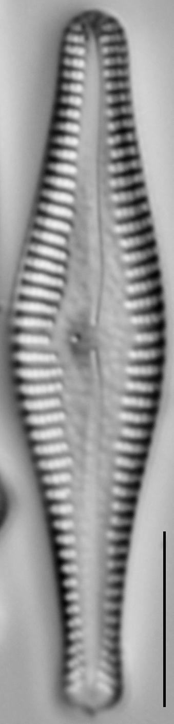 Gomphonema manubrium LM6