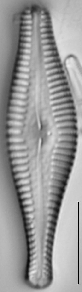 Gomphonema manubrium LM7