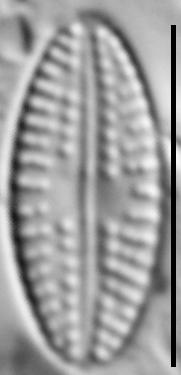 Eolimna metafarta LM6