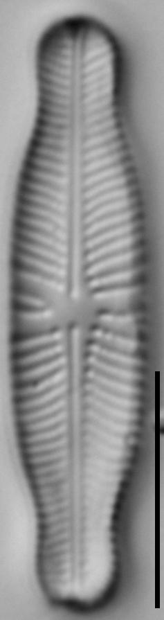Navicula genovefae LM5