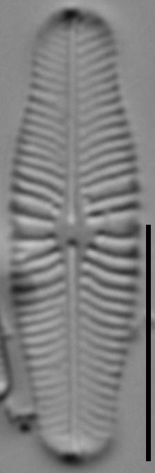 Navicula genovefae LM7